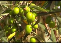 """El avance de la """"Xylella fastidiosa"""" en los olivos del sur de Italia, bajo vigilancia en España"""