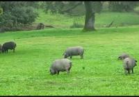 Nueva normativa del Cerdo Ibérico