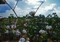 Los algodoneros, pendientes de la Orden sobre la ayuda específica para la campaña 2015