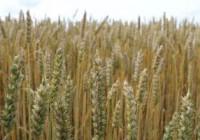 Subida generalizada, aunque leve, en los precios mayoristas de los cereales