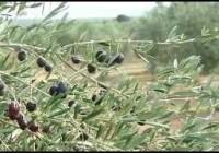La Junta impulsa una estrategia para evitar la llegada a Andalucía de la 'Xylella fastidiosa'