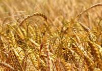 El precio del cereal no deja de caer