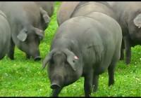 España solicita ayudas al almacenamiento privado de porcino para 8.956 toneladas al FEGA
