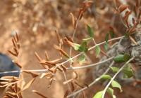 Nuevas medidas de la Comisión Europea contra la bacteria mortal para los olivos