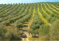 Olivares y viñedos corren peligro con el cambio climático