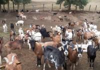 El sector caprino de Coag Sevilla se moviliza contra la bajada de los precios de la leche