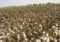 Movilizaciones de los algodoneros si no se autoriza el uso del tidiazurón