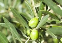 Se intensifica la actividad de la mosca del olivo