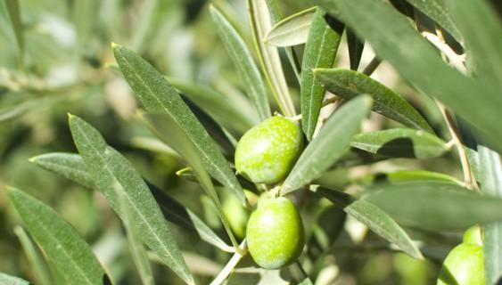 Un estudio dará a conocer el estado del olivo a través de su savia