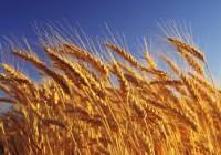 Las altas temperaturas provocarán pérdidas muy importantes en la cosecha de cereal