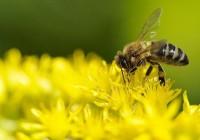 Surge un proyecto para analizar los riesgos que amenazan a la supervivencia de las abejas