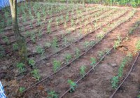 El cultivo de la stevia atrae a jóvenes agricultores malagueños