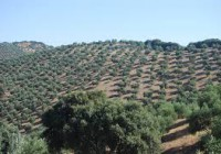 La superficie de olivar en España supera los 2,59 millones de hectáreas