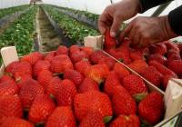 Huelva bate su récord histórico en exportación de frutos rojos entre enero y octubre de 2018