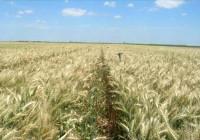 Los precios del trigo duro suben un 9,5% semanal en los mercados mayoristas