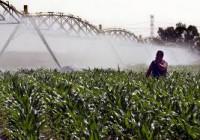 El maíz esquiva el calor y la producción será normal