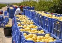 Fuerte bajada de un 23% en la cosecha del limón para la campaña 2015/2016