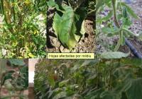 Las principales enfermedades en el cultivo de hortícolas al aire libre en verano, según la RAIF