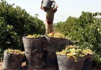 Abierto el plazo para solicitar la aprobación de planes de reestructuración y reconversión de viñedos para 2015-2016