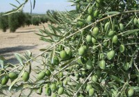Arranca un verdeo corto por las altas temperaturas y los bajos precios de años anteriores