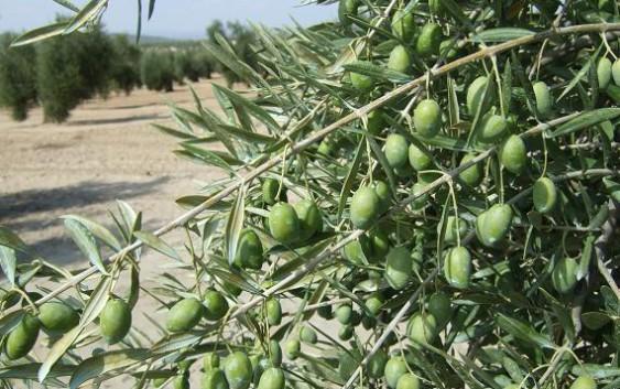 La recogida temprana de la aceituna mejora la calidad del aceite según un estudio