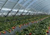 Abandono del 20% de la superficie de fresa en Doñana por la falta de agua