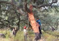 Casi un tercio del corcho andaluz se queda en el árbol por la meteorología