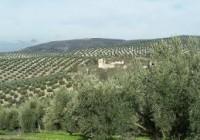 Un estudio revela que un 70% de la superficie mundial del olivar no es rentable
