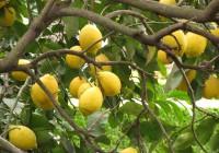 La campaña del limón va a ritmo normal y su calidad es excepcional