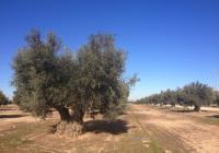 Alerta por pérdidas irreparables en el olivar de secano y en regadío por la ausencia de lluvia