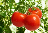 Consumir tomate ayuda a prevenir el ictus