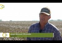 La campaña del algodón en el Valle del Guadalquivir