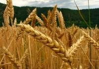 Investigan una nueva variedad de trigo apta para celíacos a partir de otras con poco contenido en gluten