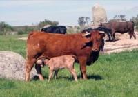 95,87€ de ayuda asociada a la vaca nodriza