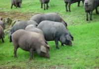 Aumentan un 17% las exportaciones de porcino respecto al año anterior