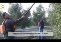 VÍDEO: Recolección de la aceituna en Jaén 2015