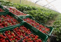 Se adelanta el inicio de la campaña de fresa por las altas temperaturas