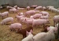 Ayudas al almacenamiento privado de carne de porcino a partir del 4 de enero