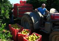 Al alza el precio de los cítricos, especialmente el limón,  según el Observatorio de Precios y Mercados
