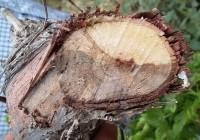 Precauciones en la poda de la VID para no dispersar hongos de madera