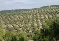 Cooperativas constata que la producción andaluza de aceite superará el millón de toneladas esta campaña