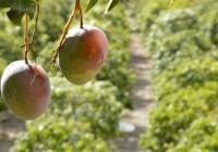 Nueva unidad para investigar y optimizar la fruta subtropical de la costa andaluza