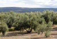 COAG Andalucía pide instrumentos efectivos para la estabilidad del mercado del aceite de oliva
