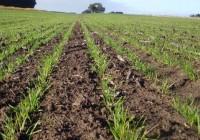Estado actual del cultivo del trigo duro en Andalucía