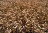 """Aparece el """"mosquito del trigo"""" en Jerez, plaga tradicional en cereales de invierno y sin tratamiento químico autorizado"""
