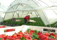 REPORTAJE Comienza la campaña de fresas en Huelva