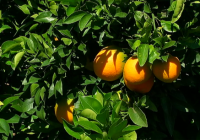La Diputación de Almería apoya la celebración el 21 de febrero del Día de la Naranja en Gádor