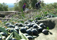 REPORTAJE Balance de la campaña del aceite en Andalucía