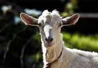 COAG Andalucía vigilará el precio de la leche de cabra ante la negociación de los nuevos contratos
