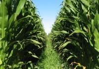 La aparición de una maleza invasora pone en peligro la autorización de maíz transgénico en España
